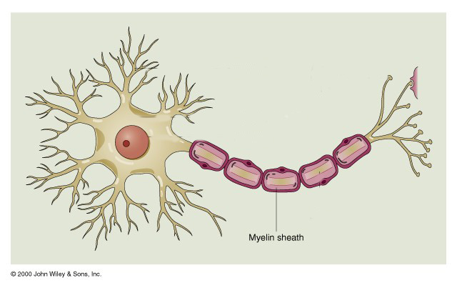 how to build your myelin sheath