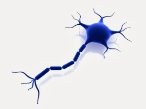 While we have many types of nerves in our brains, our adult stem cells seem preprogrammed to form certain ones.