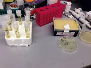 Picking colonies at the bench.