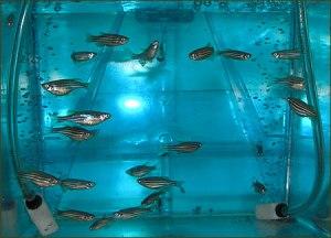 zebrafish1