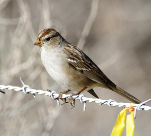 Gambel's White-crown sparrow: could its song unlock methods for repairing the brain? (photo courtesy Lip Kee, wikimedia commons)