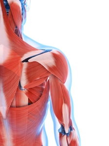 Scientists have identified a protein that may help spur 'in body' muscle regeneration.