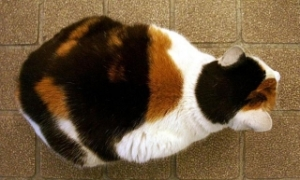 Calico cats are female due to X-chromosome silencing.