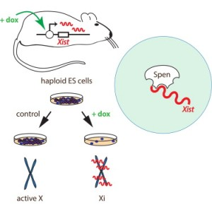Specialized haploid embryonic stem cells engineered to produce the X-inactivator Xist upon drug treatment. (Cell Reports)