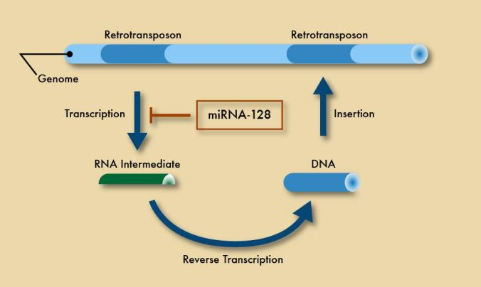 Retrotransposons: curious pieces of DNA that can be transcribed into RNA, copied into DNA, and inserted to a new spot in your chromosomes.