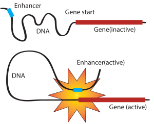 Enhancers: DNA segments that act like a volume control know for gene activity (Image source: xxxx)