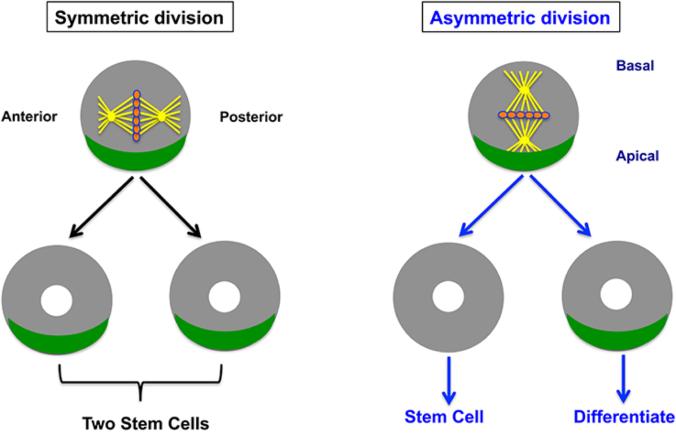 stemcelldivision