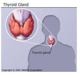 The thyroid gland is located in the neck. (WebMD)