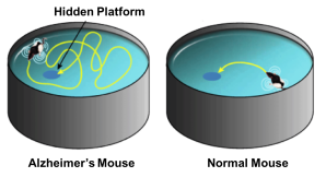 The water maze tests a mouse's ability to learn and recall where the hidden platform is. (Image adapted from Credit2M BioTech)