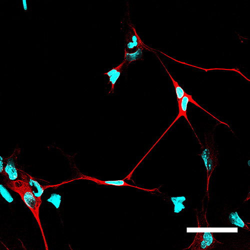 Neurons using NeuroD1