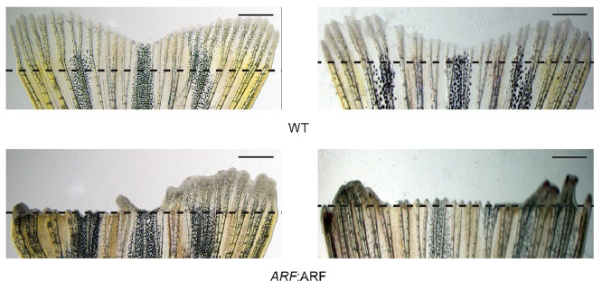 Normal zebrafish can regrow their tail fins after they are clipped, but fish that have the ARF gene cannot. (eLife)