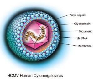 Cytomegalovirus. Image credit (https://scienceforscientists.wordpress.com/tag/cytomegalovirus-cmv/)