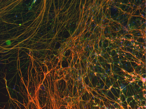 Neurons generated in 3D platforms 1[1]