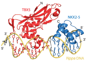 Protein crystal structure of NKX2.5 and TBX5 bound to DNA.