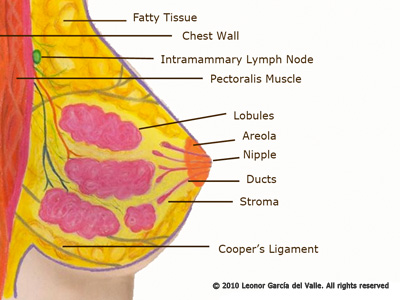 bc_anatomy_of_breast