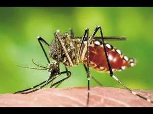 The Zika Virus is spread by a specific type of mosquito, the Aedes aegypti.