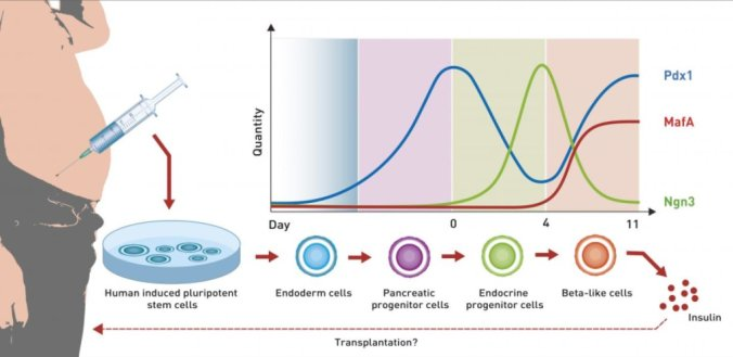The diagram shows the dynamics of the most important growth factors during differentiation of human induced pluripotent stem cell to beta-like cells. Credit: ETH Zurich