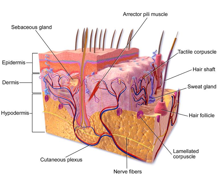 Stem Cells Provide Promising Skin In The Game For Treating Burn
