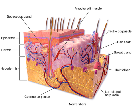 Blausen_0810_SkinAnatomy_01 cropped