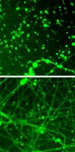 rapamycin-effect-on-MILS-neurons