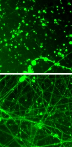 rapamycin-effect-on-MILS-neurons