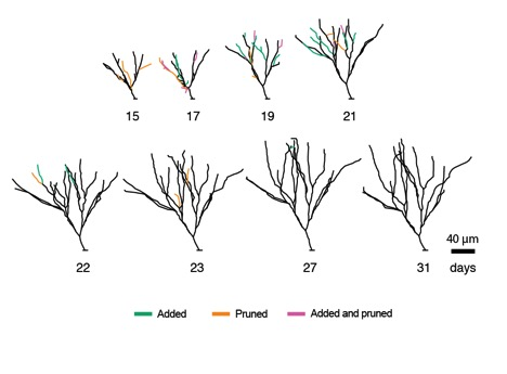 A diagram showing how the adult brain prunes back the dendritic branches of newly developing neurons over time. (Image credit: Salk Institute).