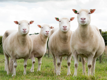 Cloned sheep, sisters to the famous Dolly the Sheep. (University of Nottingham)