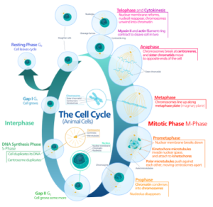The cell cycle, an exquisitely controlled process.