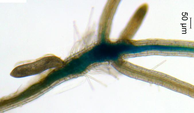 nematode-feeding-site