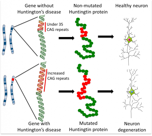 Stem cells reveal developmental defects in Huntington's ...