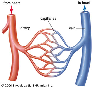 One day scientists could grow the human cardiovascular system from complex network of blood vessels that include arteries capillaries and veins these structures distribute blood from the heart to all parts of the body ccuart Choice Image