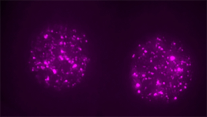 Single-two-cell-mouse-embryos-with-nuclear-LINE1-RNA-labeled-magenta-Credit-Ramalho-Santos-lab_1
