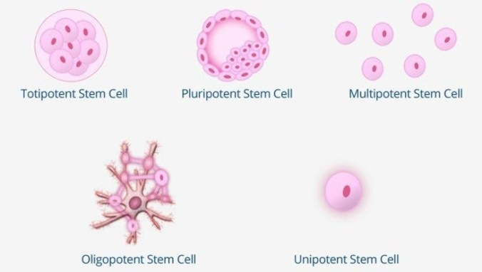 Stem-Cell-Types